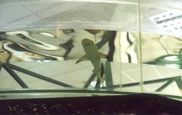 Акула в стеклянном кольце_3