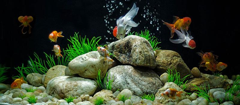 akvariumnye-rybki-foto-nazvaniya-opisanie-1